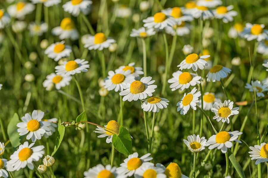 chamomile extract for skin